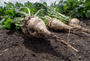 Sugar Beet Season Can Lead to Increased Risk of Injury